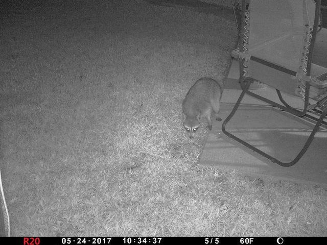 Raccoon01a-20170524-01b.jpg